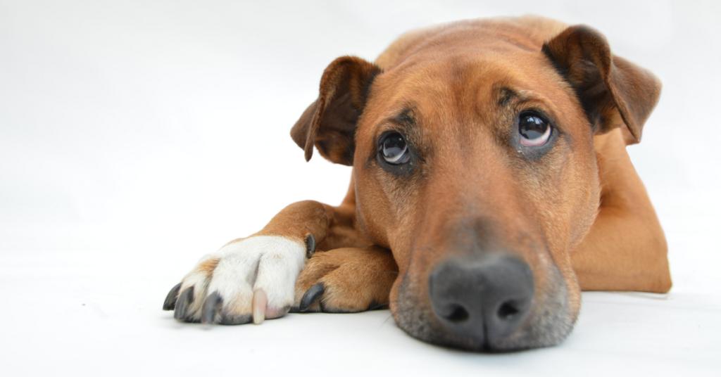 cachorro prostrado com semblante triste, sintoma característico dos cães que são acometidos pela síndrome vestibular.