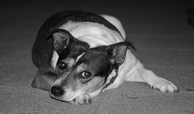 cachorro sofrendo com ansiedade