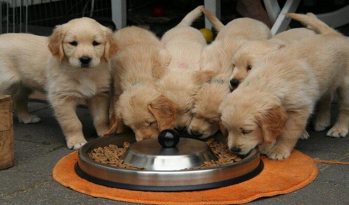 Um cachorro que não quer comer, pois perdeu o apetite por causas desconhecidas.