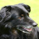 Câncer de Próstata Em Cães: Tudo Que Você Precisa Saber