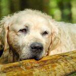 Câncer de Fígado Em Cães: Tudo Que Você Precisa Saber