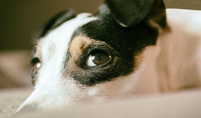 Cachorro fêmea reperesentando o risco de câncer de mama em cadelas.