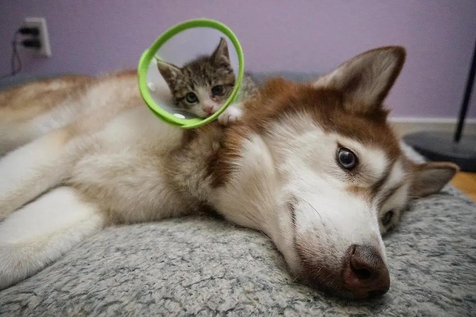 gata brincando com Husky Siberiano